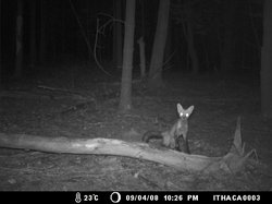 A juvenile fox gazes at the camera
