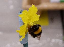 Bombus terrestris performing buzz pollination of a Solanum rostratum plant.