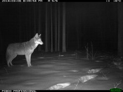 Coyote at night time