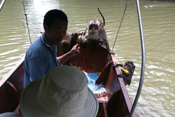 Feeding the wild monkeys - they can swim!