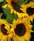 Sunflowers of Belle Sherman