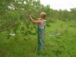 blond woman thinning peaches in orchard