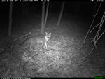 Grey fox at night on the IC Natural Lands