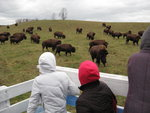 surrounded by buffalo!