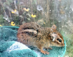 tagged chipmunk