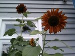 maroon sunflowers on our back porch