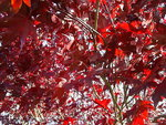 red leaves of tree in spring