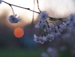 trees in bloom, setting sun