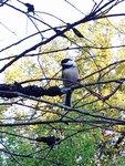 Chickadee, Ithaca, NY