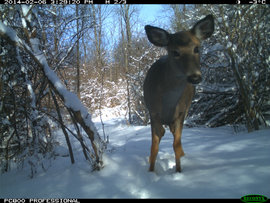 Deer looking at camera