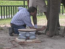 Ithaca College physics professor Bruce Thompson taking measurements from an elephant