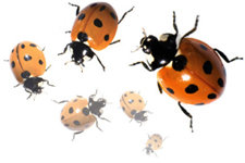 Nine-spotted Ladybugs