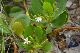 White half flower of Scaevola plumieri