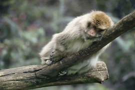 sleepingmonkey